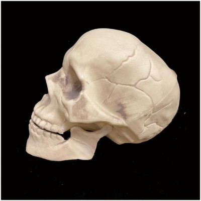 Life Size Skull with Moveable Jaw